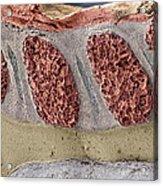 Foetal Spinal Column Acrylic Print