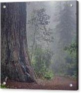 Fog And Redwoods Acrylic Print