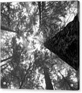 Foggy Treetops Acrylic Print
