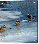 Follow The Leader Duck Style Acrylic Print