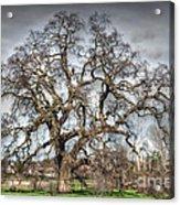 Folsom Oak Tree Acrylic Print