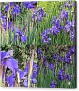 for Iris Acrylic Print