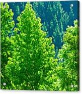 Forest Illuminates In The Sunlight  Acrylic Print