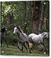 Forest Mares Acrylic Print