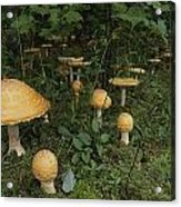 Forest Mushrooms Sprout Acrylic Print