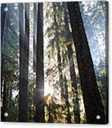 Forest Sun Rays In Olympic National Park Acrylic Print