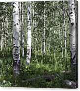 Forever Aspen Trees Acrylic Print