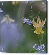 Forget-me-not And Yellow Columbine Acrylic Print