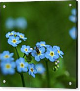 Forget-me-nots In Treman State Park, Ny Acrylic Print