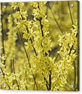 Forsythia In Full Bloom Acrylic Print