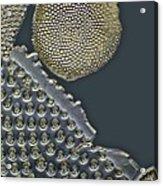 Fossil Diatoms, Light Micrograph Acrylic Print by Frank Fox