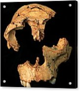 Fossilised Skull, Gran Dolina Acrylic Print