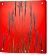 Fountain Grass In Red Acrylic Print