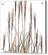 Fountain Grass In White Acrylic Print by Steve Gadomski