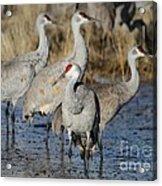 Four Sandhill Cranes Acrylic Print