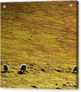 Four Sheep Acrylic Print