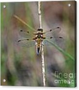 Four-spotted Chaser Dragonfly 3 Acrylic Print