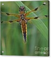 Four-spotted Chaser Dragonfly 4 Acrylic Print