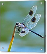 Four Spotted Pennant  Acrylic Print
