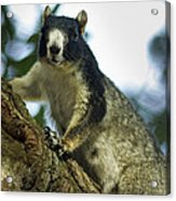 Fox Squirrel Acrylic Print by Phill Doherty