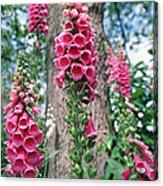 Foxglove Flowers Acrylic Print