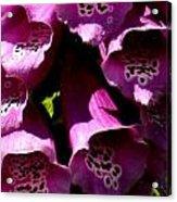 Foxglove Macro Acrylic Print