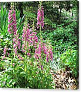Foxgloves In My Garden Acrylic Print