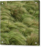 Foxtail Barley And Western Wheatgrass Acrylic Print