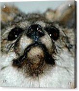 Foxy Eyes Acrylic Print