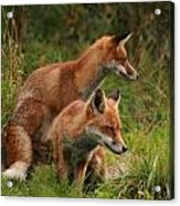 Foxy Pair Acrylic Print by Jacqui Collett