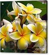 Fragrant Blossoms Of The Pagoda Tree Acrylic Print