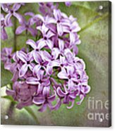 Fragrant Purple Lilac Acrylic Print by Cheryl Davis
