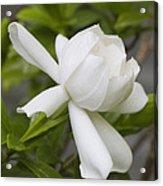 Fragrant White Gardenia Blossom Acrylic Print