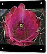 Framed Fuchsia Cactus Flower Acrylic Print