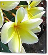 Frangipani Up Close Acrylic Print