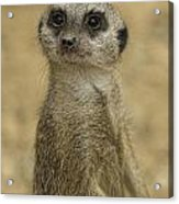 Frank The Meerkat Acrylic Print