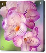 Freesia Sp Acrylic Print