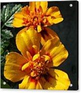 French Marigold Named Starfire Acrylic Print