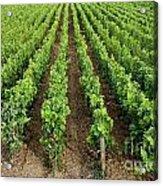 French Vineyard Acrylic Print