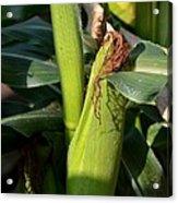 Fresh Corn On The Cob Acrylic Print