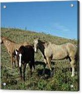 Fresh Horses Acrylic Print