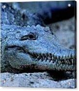 Freshwater Crocodile Acrylic Print