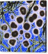 Freshwater Cyanobacteria Acrylic Print