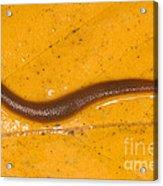 Freshwater Leech Hirudo Sp Acrylic Print