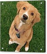Friendly Dog Acrylic Print