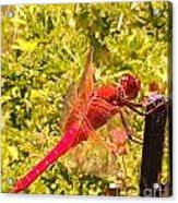 Friendly Dragon Fly Acrylic Print
