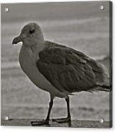 Friendly Gull Acrylic Print