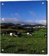 Friesian Cattle, Allihies, Co Cork Acrylic Print