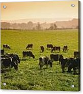 Friesian Cattle Cattle Grazing Acrylic Print