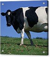 Friesian Cow Acrylic Print
